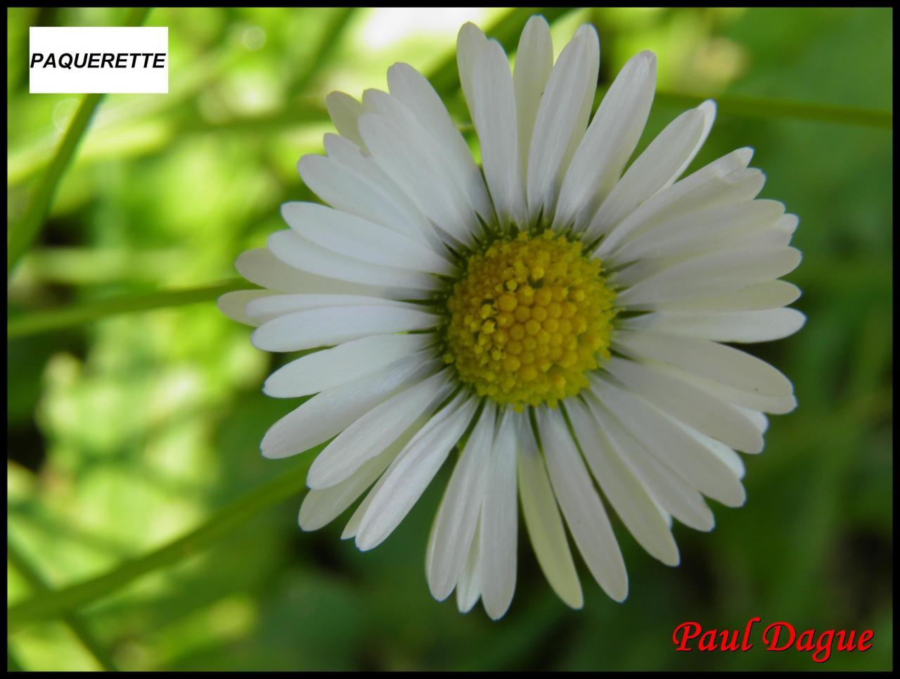 paquerette vivace-bellis perennis-astéracée