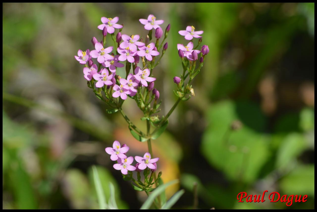 petite centaurée rouge-centaurium erythraea-gentianacée
