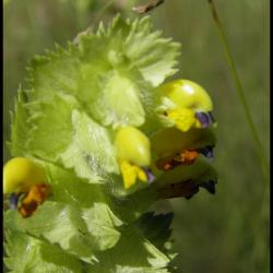 rhinanthe crête de coq-rhinanthus alectopolophus-scrophulariacée