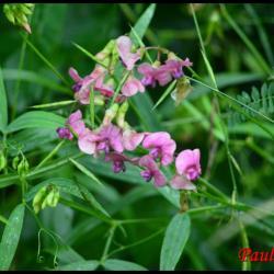 gesse des bois-lathyrus sylvestris-fabacée