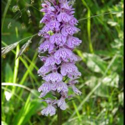 orchis tacheté-dactylorhiza maculata-orchidacée