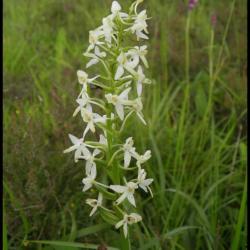 platanthère à 2 feuilles-platanthera bifolia-orchidacée