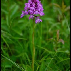 orchis pyramidal-anacamptis pyramidalis-orchidacée