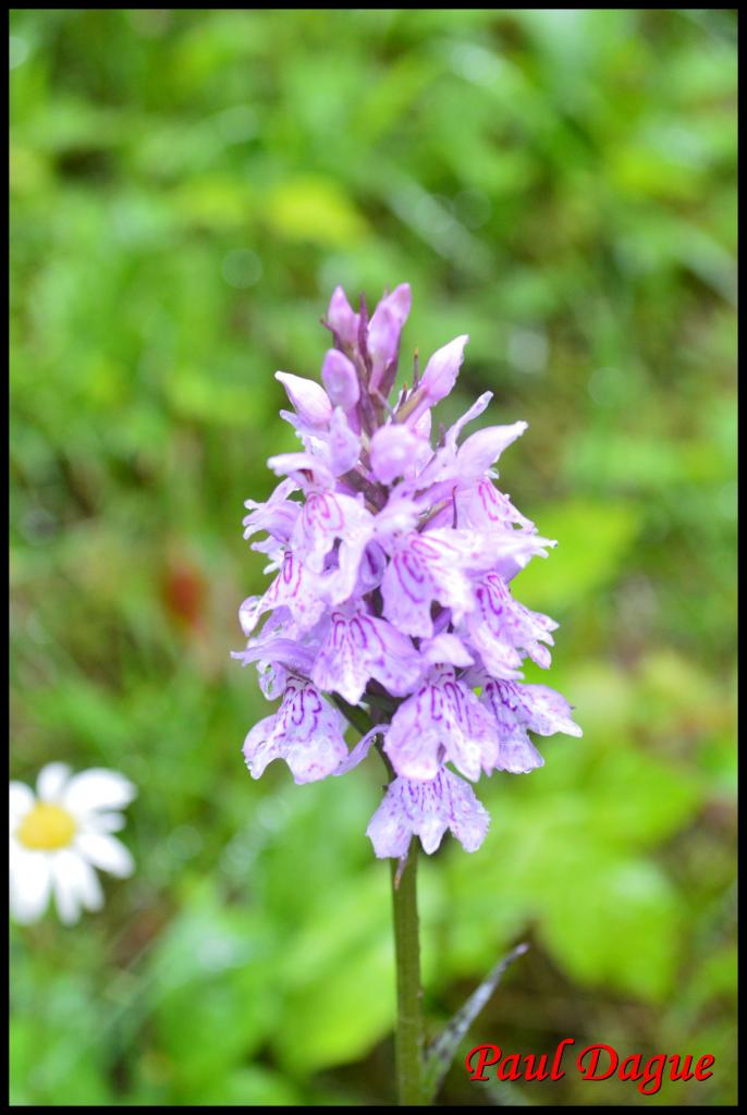 orchis de fuchs-dactylorhiza fuchsii-orchidacée