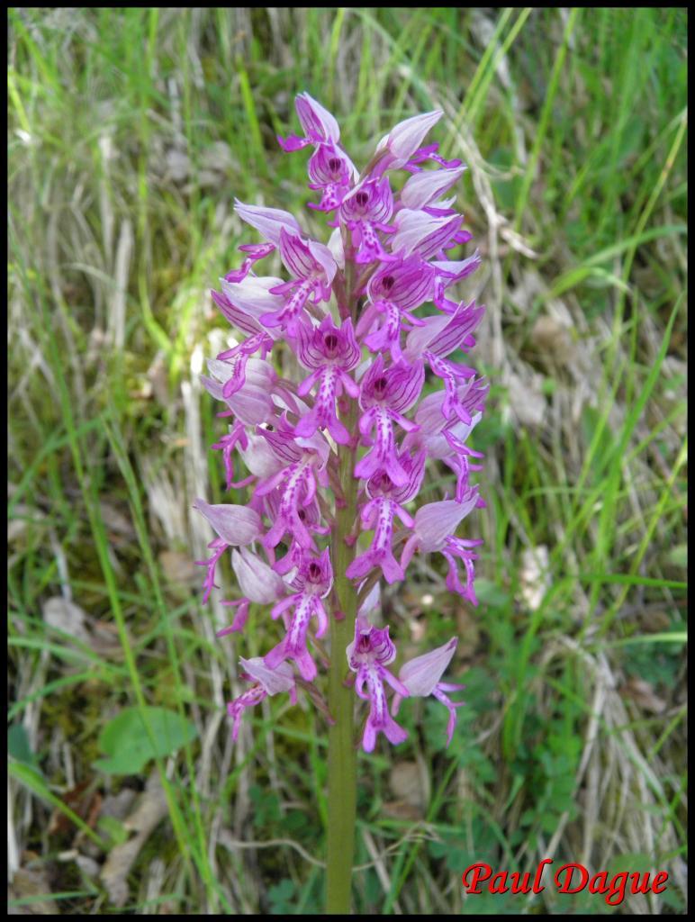 orchis militaire-orchis militaris-orchidacée