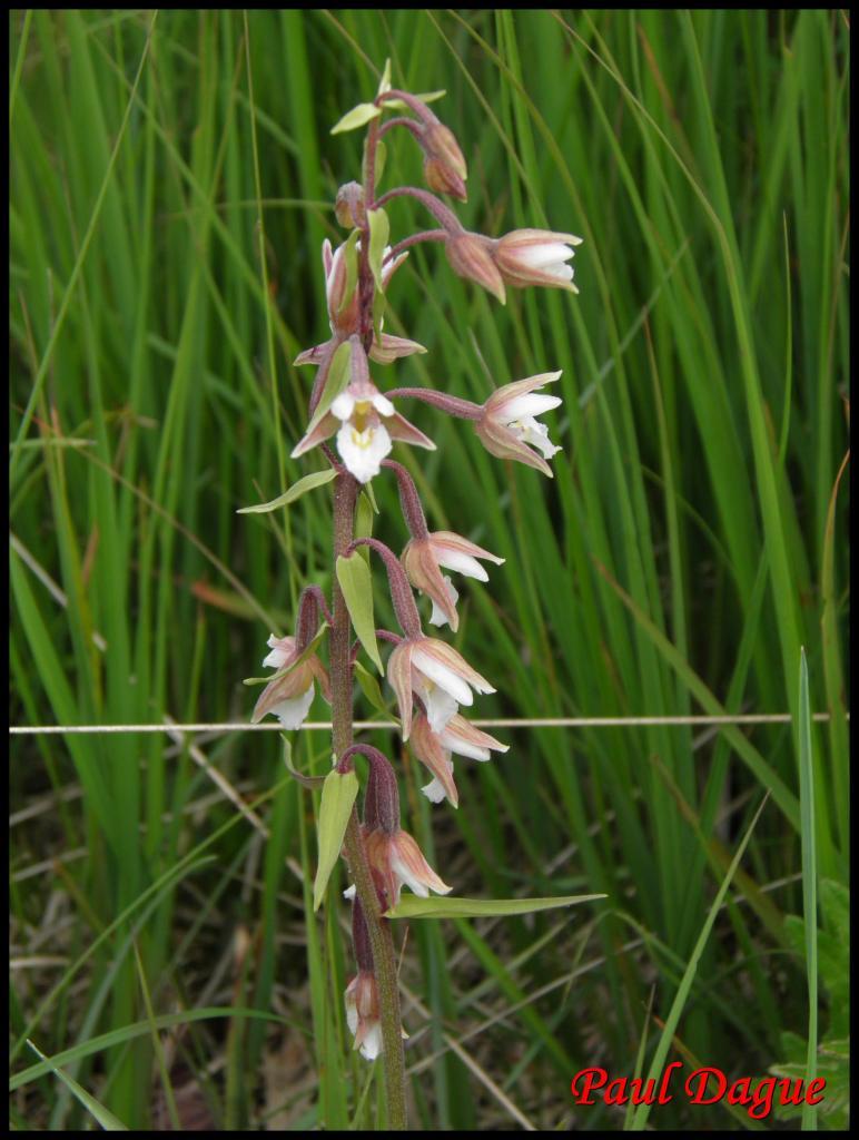 épipactis des marais-epipactis palustris -orchidacée