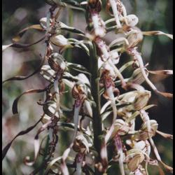 orchis à odeur de bouc-himantoglossum hircinum-orchidacée