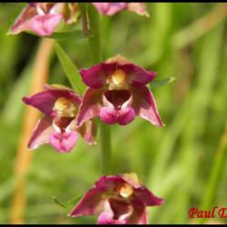 épipactis pourpre noirâtre-epipactis atrorubens-orchidacée