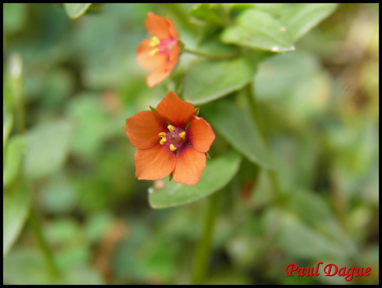 mouron des champs-anagallis arvensis-primulacée