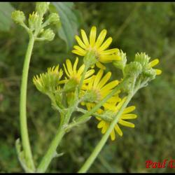sénéçon à feuilles de roquette-senecio erucifolius-astéracée