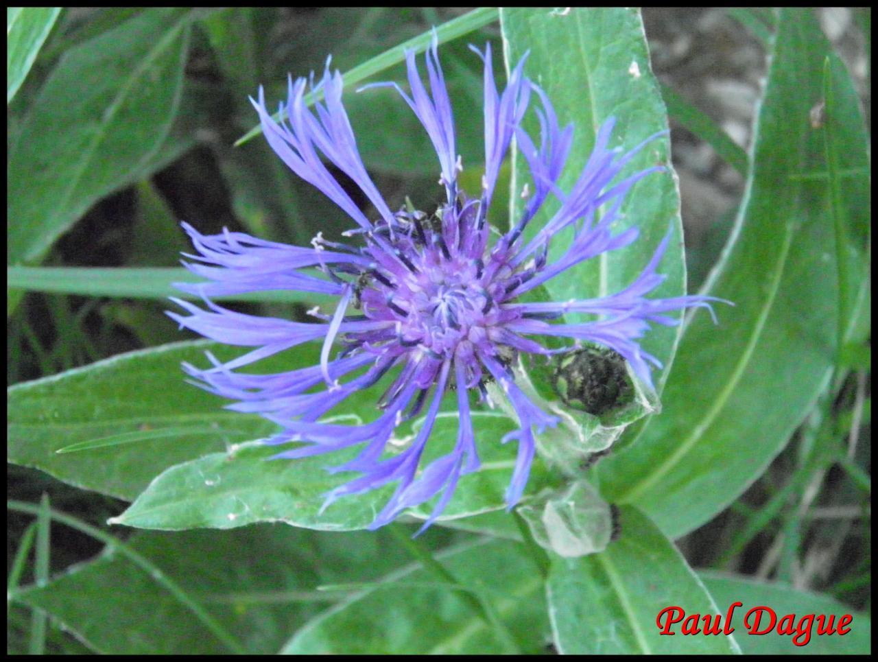 fleurs violettes en capitule