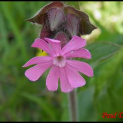 compagnon rouge-silene dioica-caryophyllacée