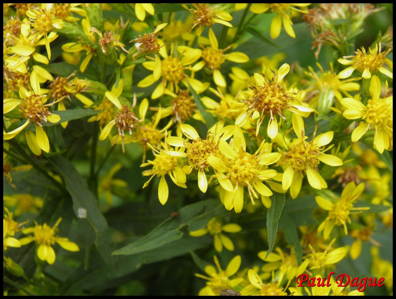 solidage verge d'or-solidago virgaurea-astéracée