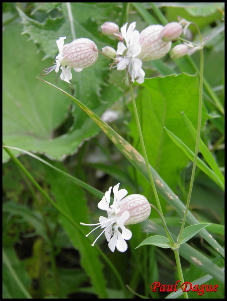 silene enflé-silène vulgaris-caryophyllacée
