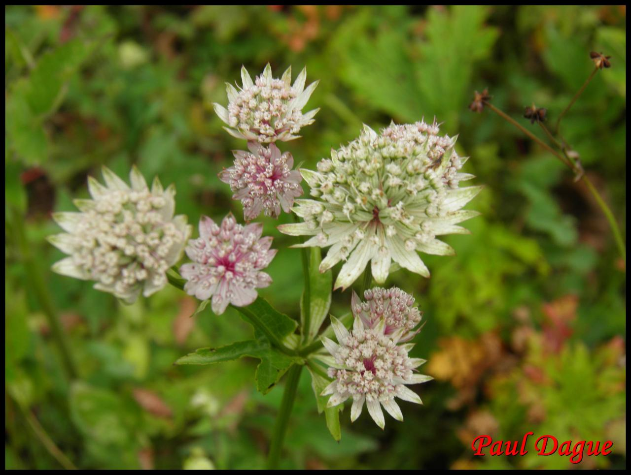 grande astrance-astrantia major-apiacée