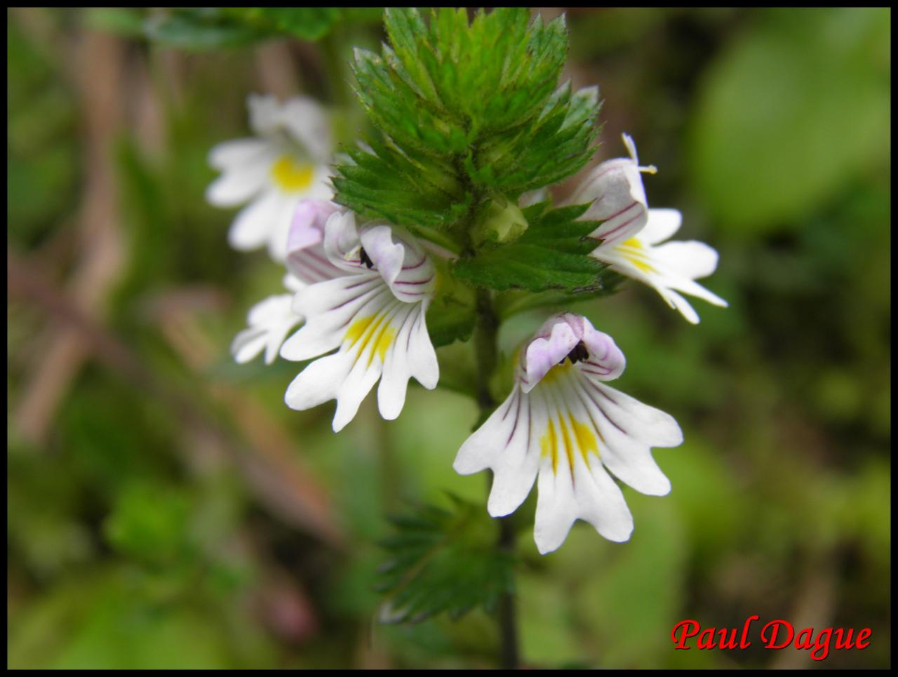 casse lunette-euphrasia officinalis-scrophulariacée