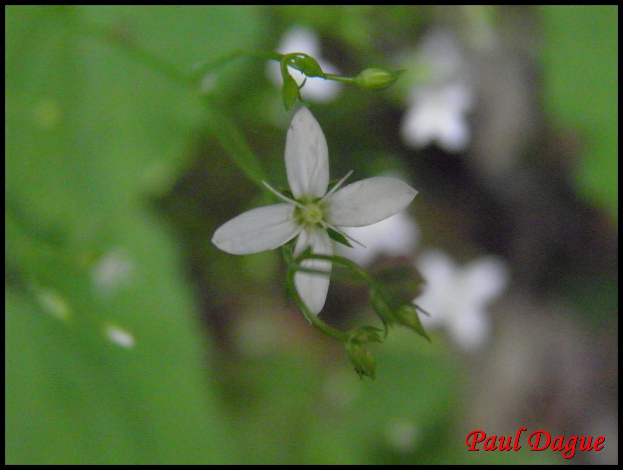 moehringe mousse-moehringia muscosa-caryophyllacée