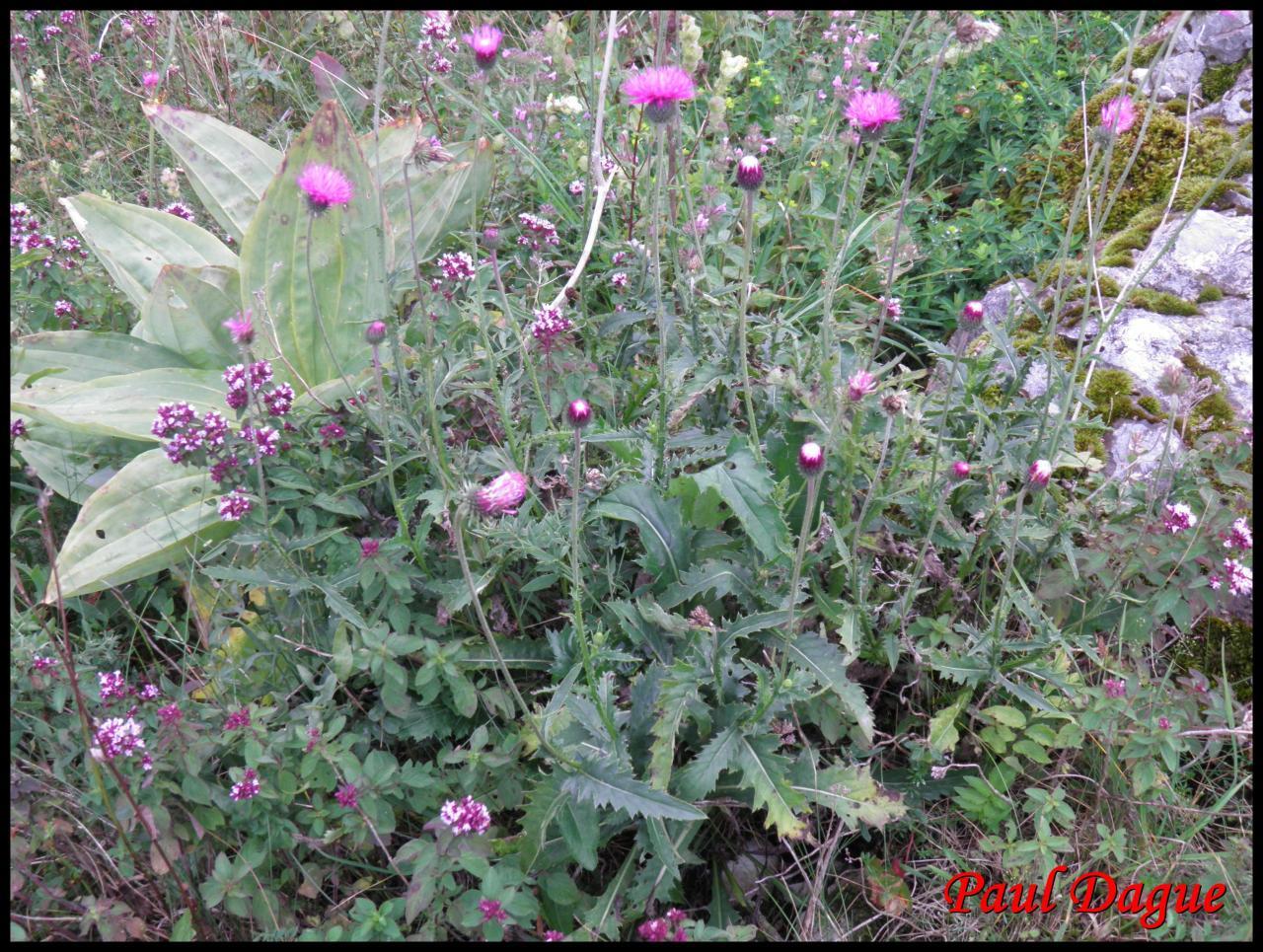 chardon décapité-carduus defloratus-astéracée