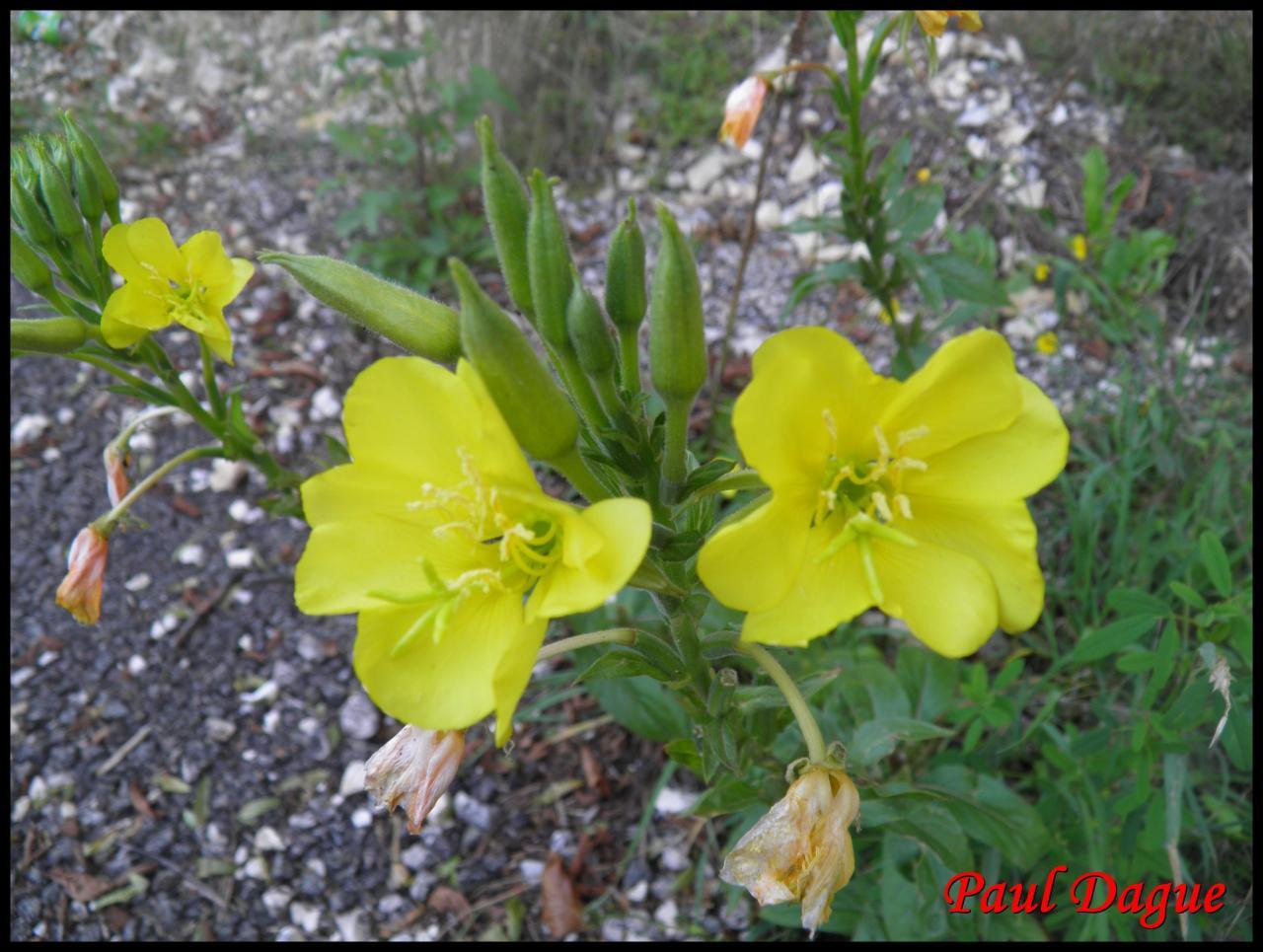 onagre bisannuelle-oenothera biennis-onagracée