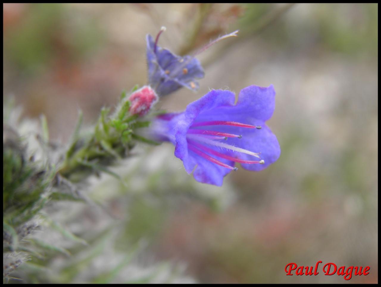 vipérine commune-echium vulgare-boraginacée