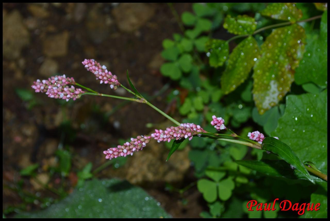 renouée persicaire-polygonum persicaria-polygonacée