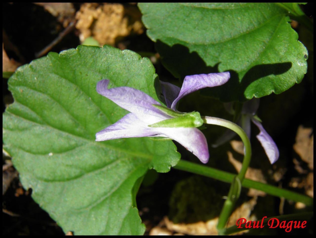 violette des chiens-viola canina-violacée