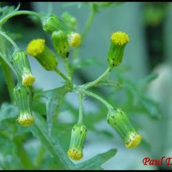 sénéçon commun-senecio vulgaris-astéracée