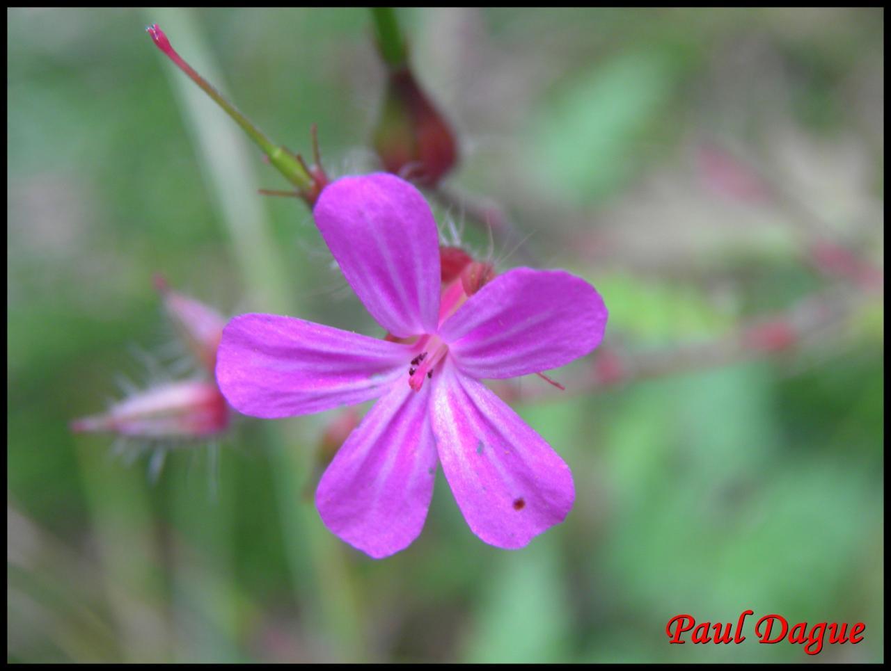 herbe à Robert-geranium robertianum-géraniacée (2)