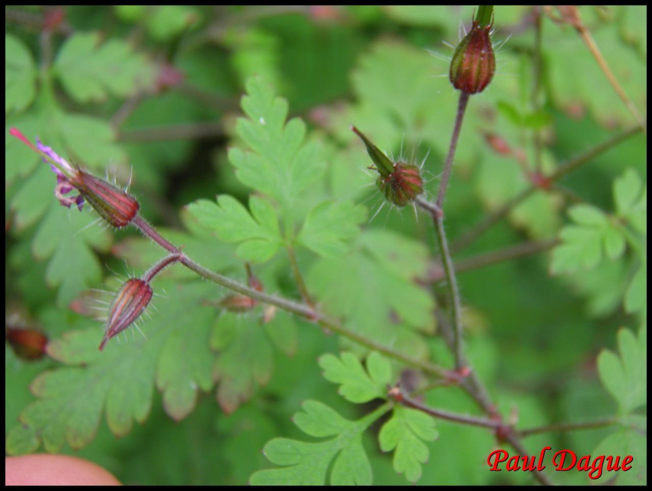 herbe à Robert-geranium robertianum-géraniacée