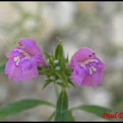 galéopsis à feuilles étroites-galeopsis angustifolia-lamiacée