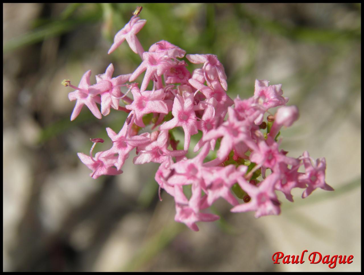 centranthe à feuilles étroites-centranthus angustifolius-valérianacée