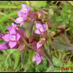 gentiane champêtre-gentianella campestris-gentianacée