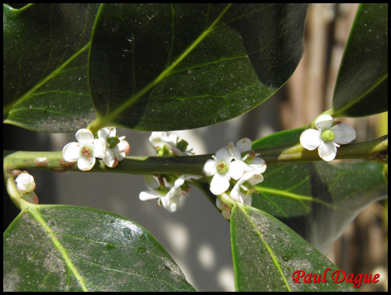 houx-ilex aquifolium-aquifoliacée