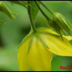 lysimaque ponctuée-lysimachia punctata-primulacée