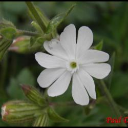 compagnon blanc-silene latifolia-caryophyllacée