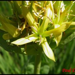 gentiane jaune-gentiana lutea-gentianacée