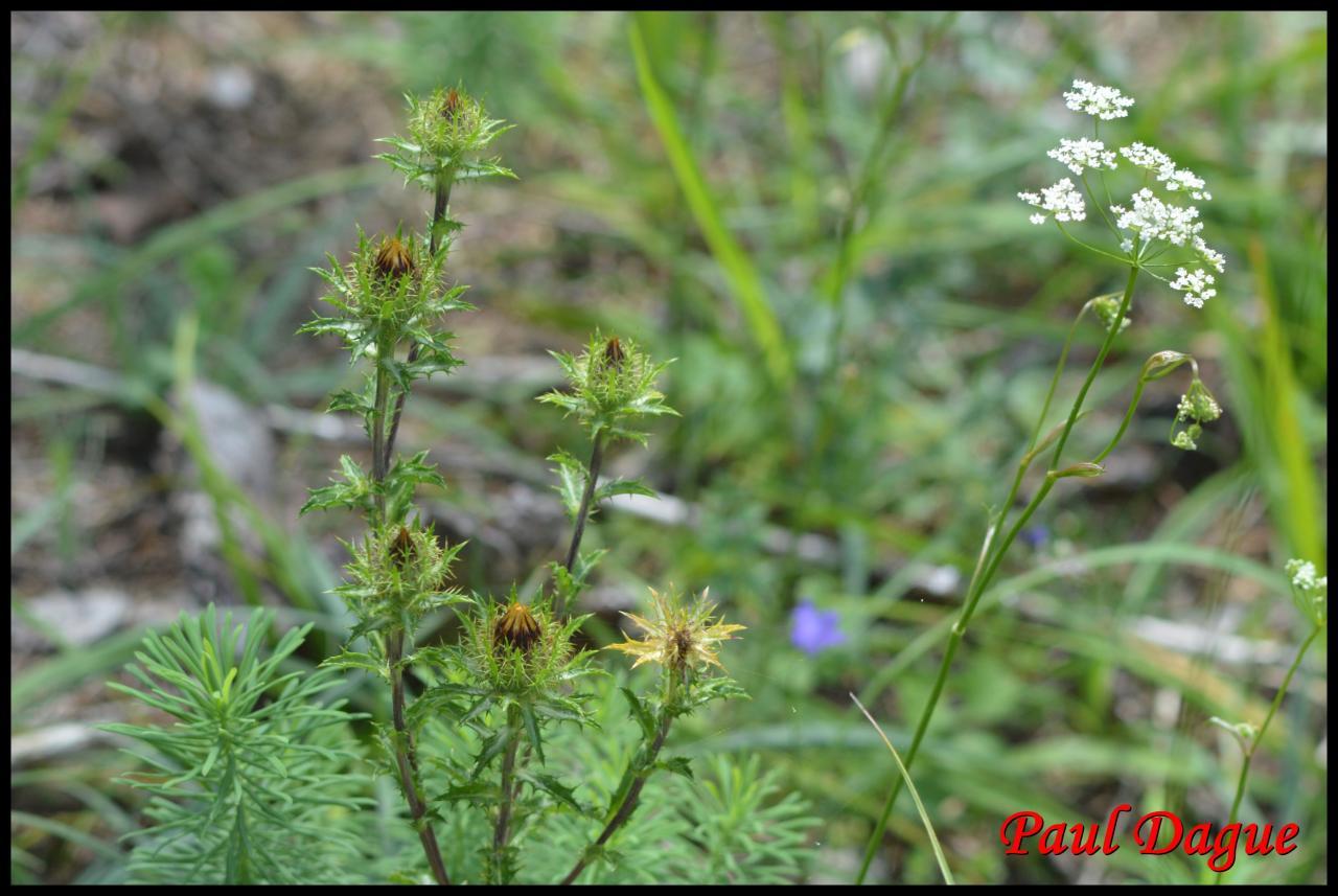 carline commune-carlina vulgaris-astéracée