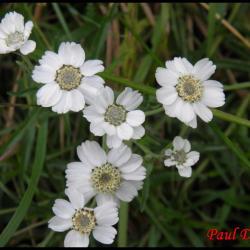 herbe à eternuer-achillea ptarmica-astéracée