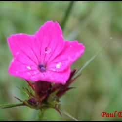 oeillet des chartreux-dianthus carthusianorum-caryophyllacée