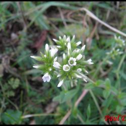 ceraiste aggloméré-cerastium glomeratum-caryophyllacée