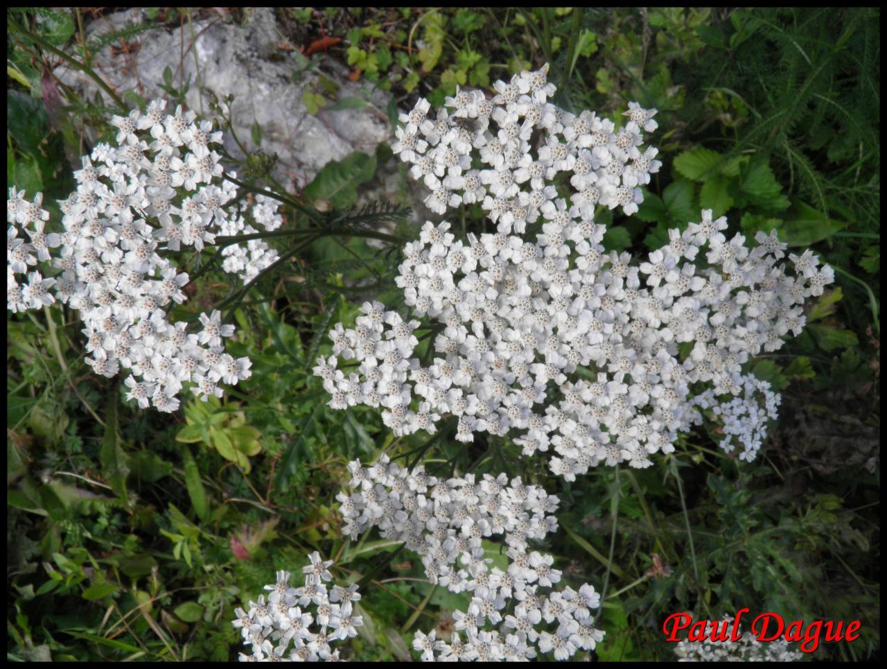 saigne-nez-achillea millefolium-astéracée
