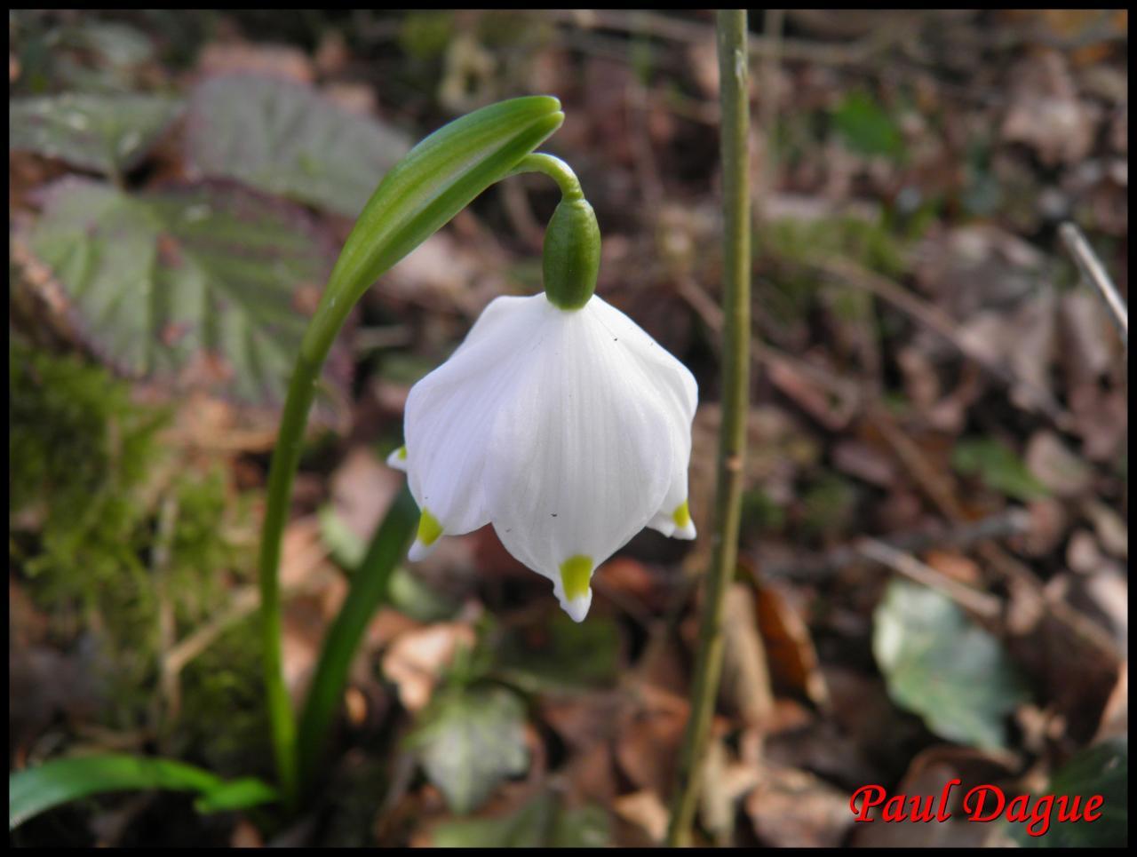 nivéole du printemps-leucojum vernum-amaryllidacée