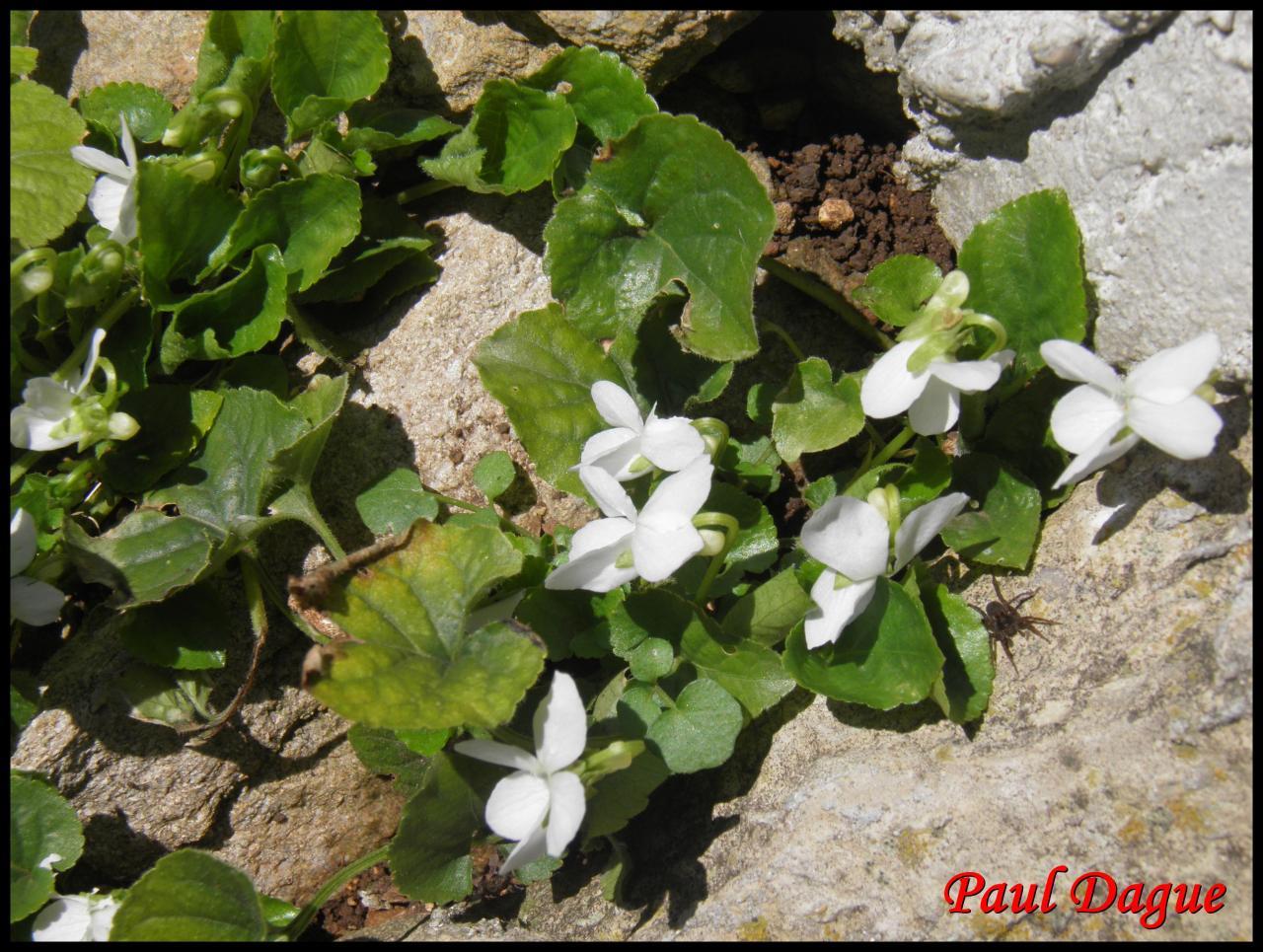 violette blanche-viola alba-violacée