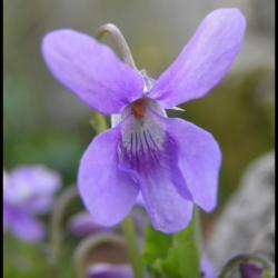 violette odorante-viola odorata-violacée