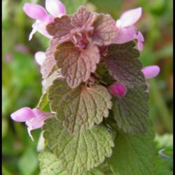 lamier pourpre-lamium purpureum-lamiacée