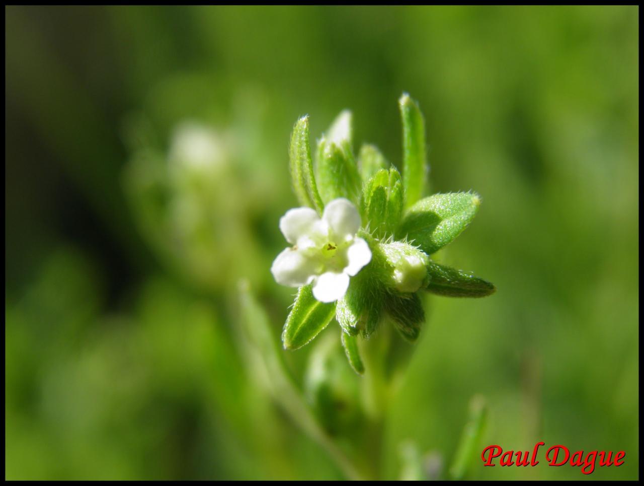 grémil officinal-lithospermum officinale-boraginacée