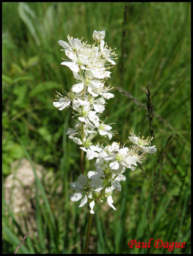 filipendule à 6 pétales-filipendula vulgaris-rosacée