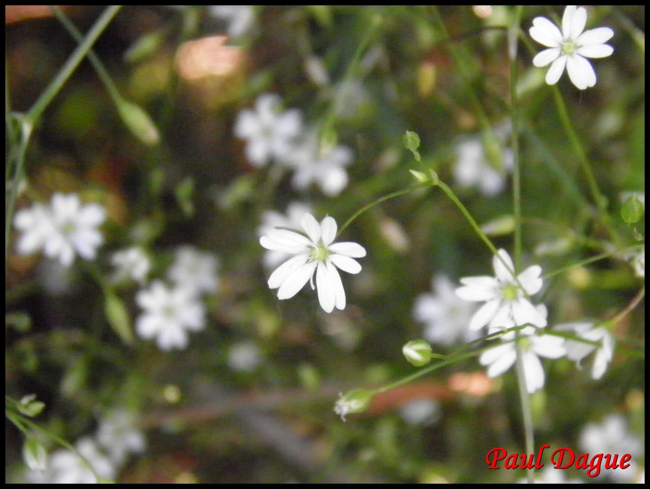 stellaire graminée-stellaria graminea-caryophylacée