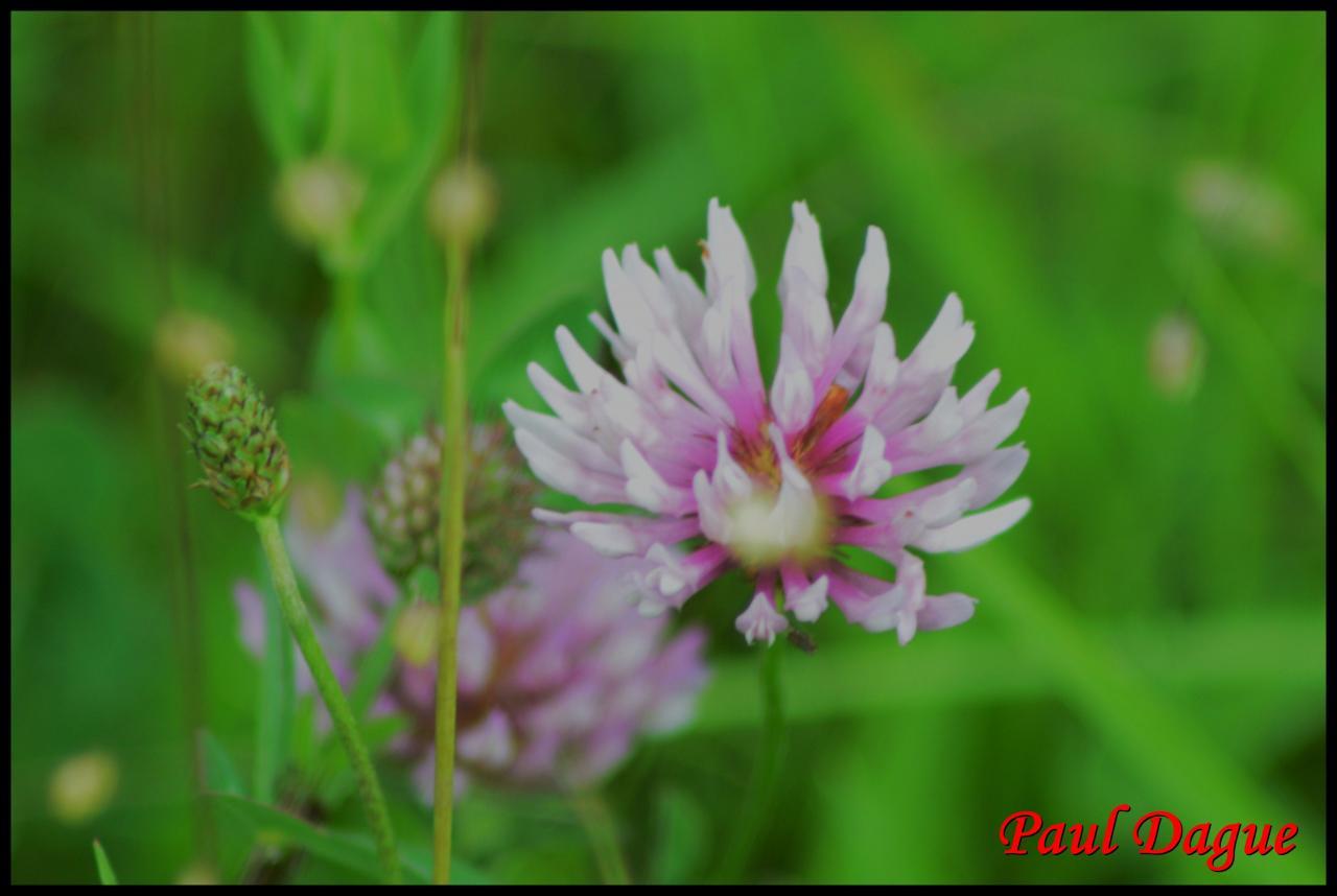 trèfle des prés-trifolium pratense-fabacée