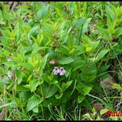 mélitte à feuilles de mélisse-melittis mélissophyllum-lamiacée
